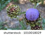 artichoke plant and head with... | Shutterstock . vector #1010018029
