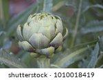 globe artichoke head   Shutterstock . vector #1010018419