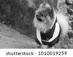 the wear  aggressive spitz dog... | Shutterstock . vector #1010019259