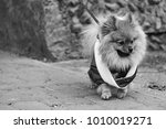 the wear  aggressive spitz dog... | Shutterstock . vector #1010019271