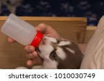 Stock photo dog puppy feeding with milk bottle on a husky puppy 1010030749
