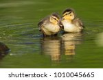 Cute Mallard Ducklings In Spring