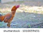 The Rooster  Elegant