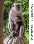 a mama monkey holding her baby...   Shutterstock . vector #1010060929