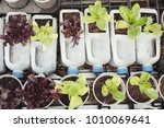 growing lettuce in used plastic ... | Shutterstock . vector #1010069641