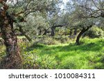 Ancient Gnarled Olive Trees...