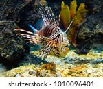 Common lionfish  turkeyfish ...