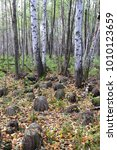 Small photo of Autumn in the alder forest. On the hills of the alder grove a lot of yellow foliage. Russia. Siberia.