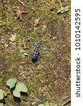 Small photo of Cicindela japonica on the ground