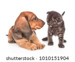 puppy and kitten look at each... | Shutterstock . vector #1010151904