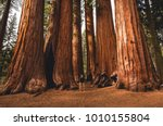 Walking Amongst Giants  - stock photo