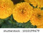 lots of beautiful marigold... | Shutterstock . vector #1010199679