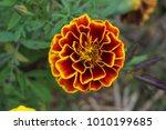 orange marigold flowers | Shutterstock . vector #1010199685