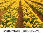 beautiful marigold yellow... | Shutterstock . vector #1010199691