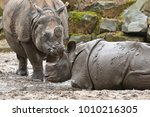 indian rhinoceros mother and a... | Shutterstock . vector #1010216305