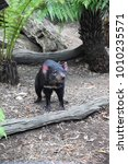 Small photo of Tasmanian Devil, a small carnivorous marsupial, in Tasmania, Australia