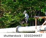 open billed stork    bangkok... | Shutterstock . vector #1010244457