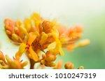 Small photo of Saraca thaipingensi flower