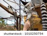 lemur feeding. lemurs ... | Shutterstock . vector #1010250754