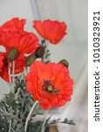 bunch of artificial red poppy... | Shutterstock . vector #1010323921