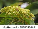Bee On Japanese Raisin Tree...