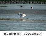 Seagull By Low Tide Searching...