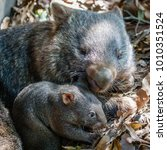 female wombat with her joey ... | Shutterstock . vector #1010351524