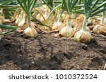 the onion is grown on the soil... | Shutterstock . vector #1010372524
