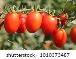 fresh red tomatoes growing on a ... | Shutterstock . vector #1010373487