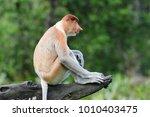 Proboscis Monkey Or Nasalis...
