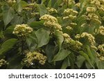 View Of Flower Clusters Of...