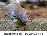 Portrait Of A Grey Squirrel...
