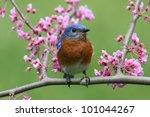 Male Eastern Bluebird  Sialia...