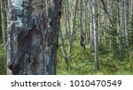 grizzly in forest | Shutterstock . vector #1010470549