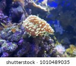 soft coral in a saltwater... | Shutterstock . vector #1010489035