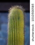 single cactus with longs fine... | Shutterstock . vector #1010500585