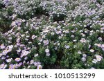 Small photo of Many light violet flowers of Michaelmas daisies