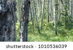 grizzly in forest | Shutterstock . vector #1010536039