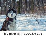 husky in the winter forest | Shutterstock . vector #1010578171