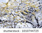 The Blooming Plum Blossoms In...