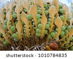 The Female Seed Cone Of Cycas...
