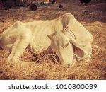 cows sick  veterinarians in the ... | Shutterstock . vector #1010800039