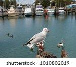 Seagull Bermagui Nsw Australia...