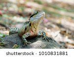 water dragon  gold coast. | Shutterstock . vector #1010831881