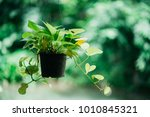 Plant With Hanging Pot