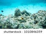 three striped damselfish ... | Shutterstock . vector #1010846359