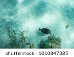 brown surgeonfish swimming on... | Shutterstock . vector #1010847385