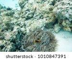 anemone with vivid tomato clown ... | Shutterstock . vector #1010847391