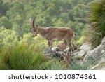 wild mountain goat in a rocky... | Shutterstock . vector #1010874361
