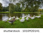 gooses are looking for foods at ... | Shutterstock . vector #1010920141